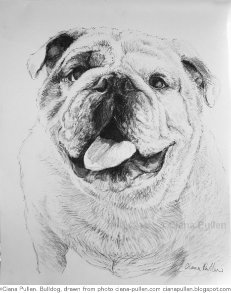 Bulldog, Drawing from 2010 by Ciana Pullen; Dimensions: 16 inches × 20 inches × 0 inch; Materials: Charcoal on Paper; Description: Drawn from a photograph. © Ciana Pullen 2010